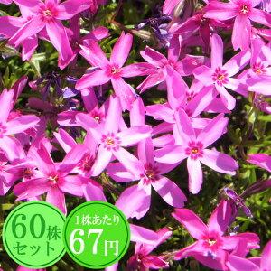 シバザクラ(芝桜)【スターグロウ】 たっぷり60株セット 1株あたり66円【花のじゅうたんを作りましょう♪】