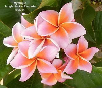 颜色宽度根据紫外线量像purumeriamisutiku Mystique 5寸1钵图片那样出来。