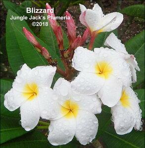 プルメリア 苗 ブリザード Blizzard 5寸 1鉢 苗木 産地直送 タイのジャングルジャックス社の信頼のブランドです! 鉢植え 未開花株 ハイワイアンレイフラワー フランジパニ