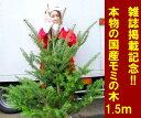 【即納可能!在庫限り】【送料無料】「もみの木 クリスマスツリー 購入」今年こそ!本物モミの木の生ツリー!【高さ:根鉢含め150cm前後】届いて・植えて・すぐ綺麗...