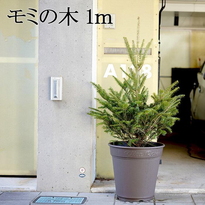 【送料無料】「もみの木 クリスマスツリー 購入」今年こそ!本物モミの木の生ツリー!【高さ:100cm】届いて・植えて・すぐ綺麗!鉢植えではないです。トウヒではない本物! ウラジロモミ【代引き不可】【メッセージカード不可】【離島・沖縄配送不可】