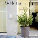 【送料無料】「もみの木 クリスマスツリー 購入」今年こそ!本物モミの木の生ツリー!【高さ:100cm】届いて・植えて…