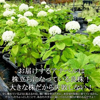 【送料無料】アメリカアジサイアナベル5寸大株の苗【良いものから出荷しますので、遅い方は枝振りが少々少なくなります。】【ラッピング・メッセージカード不可】【RCP】
