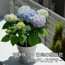 【送料無料】日向の四季咲き紫陽花エンドレスサマー5寸紫陽花の生垣も作れちゃう!生育旺盛で楽しい!