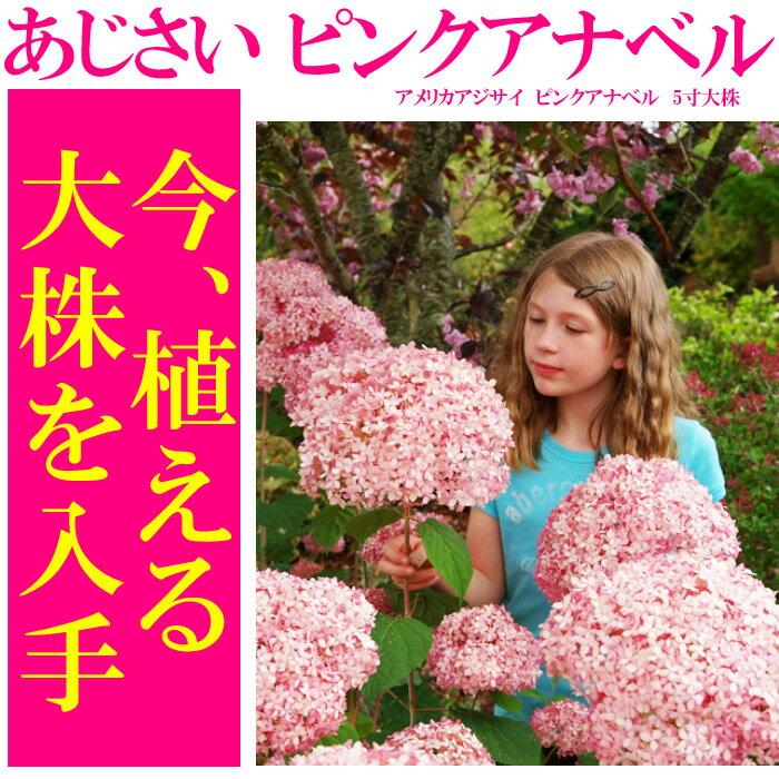 【送料無料】アメリカアジサイ ピンクアナベル 4.5寸大株の苗【良いものから出荷しますので、遅い方は枝振りが少々少なくなります。】【ラッピング・メッセージカード不可】