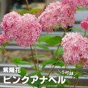 アメリカアジサイ ピンクアナベル 5寸大株の苗【良いものから出荷しますので、遅い方は枝振りが少々少なくなります。】【ラッピング・…