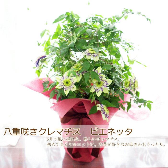 母の日ギフト 送料無料 八重咲きクレマチス 「ビエネッタ」 鉢植え プレゼント ギフト 2019 花 四季咲き 早割り