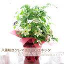 八重咲き クレマチス ビエネッタ プレゼント 四季咲き