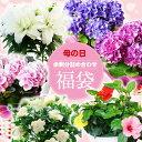 【福袋】母の日の余剰品詰め合わせ!ローズリリー、ハイビスカス、クチナシ、紫陽花、カラーなど!最大2鉢、最低1鉢