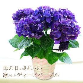送料無料 2021母の日ギフト 紫陽花 プレゼント 花 鉢植え アジサイ あじさい「凛としたディープパープル」5号鉢