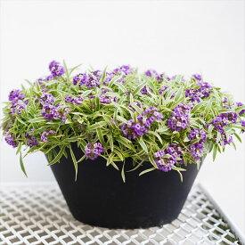 【送料無料】長く咲く!アリッサム ハッピーポンポン 9寸 大鉢仕立て 白斑の葉に紫の花がこぼれるように咲くコントラスト最高です! はちみつの香り オリジナル品種【ラッピング・メッセージカード不可】