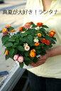 大株 ランタナ 3色寄せ植え 6寸(吊鉢にもなるよ) 5鉢セット 酷暑も猛暑もなんのその!初心者さんでもしっかり育…