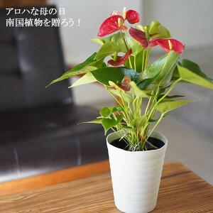 母の日 ギフト プレゼント 早割り 花 鉢植え 珍しい 2020 アンスリウム レッド 鉢花 【メッセージカード・ラッピング・同梱不可】