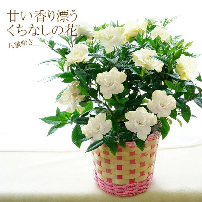 母の日 ギフト 花 送料無料 八重咲き!甘い香り漂うクチナシの花(くちなし 梔子) 香る鉢植え 義母 早割り