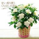 母の日早割 ギフト 花 送料無料 八重咲き!甘い香り漂うクチナシの花(くちなし 梔子) 香る鉢植え