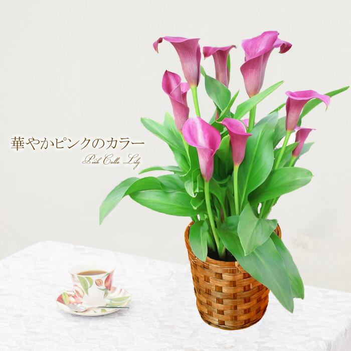 母の日ギフト 早割 送料無料 華やかピンクのカラー 花 ギフト 鉢植え 鉢 プレゼント 2019 【同梱不可】【代引き不可】早割り