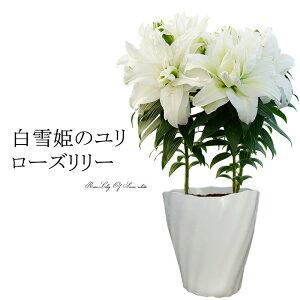 送料無料 まだ間に合う!母の日ギフト プレゼント 花 鉢植え 珍しい 「白雪姫のユリ ローズリリー」香る純白の大きな ゆりの花