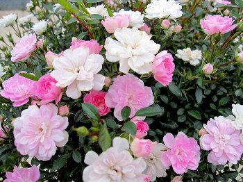 【2020年納品分ご予約スタート!】初心者向き!こぼれ咲きスプリングローズバラ咲くお庭が超簡単!置くだけ!送料無料バラ苗【メッセージカード・ラッピング不可】