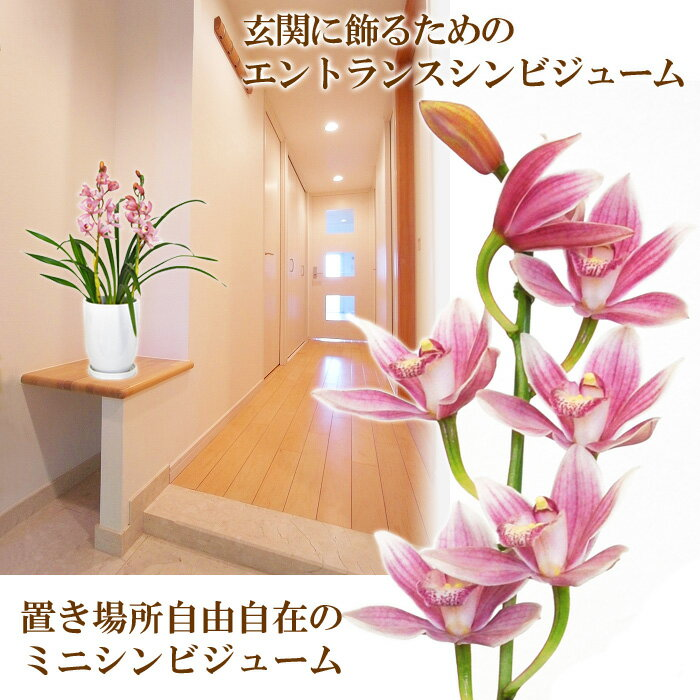 【送料無料】石田さんのエントランスシンビジューム 玄関にジャストサイズなミニサイズは、ほのかに香ります!シンビジウム シンピジューム【寒冷地にはお届け不可】【代引き不可】