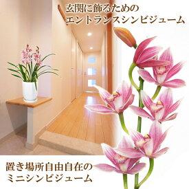 【送料無料】4色から選べる 石田さんのエントランスシンビジューム 玄関にジャストサイズなミニサイズは、ほのかに香ります!シンビジウム シンピジューム【北海道、沖縄、および寒冷地にはお届け不可】