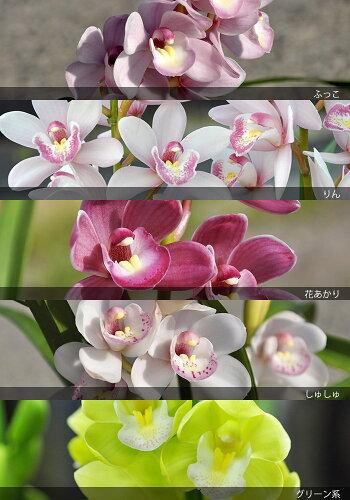 石田さんのエントランスシンビジューム玄関にジャストサイズなミニサイズは、ほのかに香ります