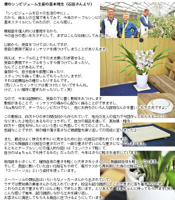【送料無料】石田さんのエントランスシンビジューム玄関にジャストサイズなミニサイズは、ほのかに香ります!シンビジウムシンピジューム【寒冷地にはお届け不可】【代引き不可】【RCP】