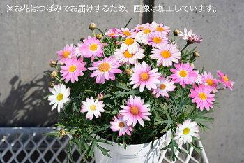 【送料無料】マーガレットさくらべーる白からピンクへ色変わり♪4寸2個セット