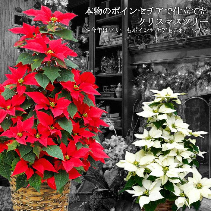 【送料無料】本物のポインセチアで仕立てたクリスマスツリー 鉢【寒冷地(北海道・東北・長野ほか)へのお届け不可】