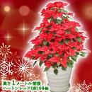 【送料無料】お歳暮やギフトにも!本物のポインセチアで仕立てたクリスマスツリー背丈1メートル9号鉢植えハートンレッド赤いポインセチア大鉢プリンセチア【育て方(管理マニュアル)クリスマスカード付・ラッピングなし】