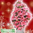 【送料無料】お歳暮やギフトにも!本物のポインセチアで仕立てたクリスマスツリー背丈1メートル9号鉢植え冬花火ピンクのポインセチア大鉢プリンセチア【育て方(管理マニュアル)クリスマスカード付・ラッピングなし】