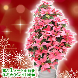 お歳暮やギフトにも!本物のポインセチアで仕立てたクリスマスツリー 背丈1メートル 9号鉢植え 冬花火 ピンクのポインセチア 大鉢 プリンセチア【育て方(管理マニュアル)クリスマスカ