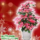 【送料無料】お歳暮やギフトにも!本物のポインセチアで仕立てたクリスマスツリー背丈70センチ7号鉢植え冬花火ピンクのポインセチア大鉢プリンセチア【育て方(管理マニュアル)クリスマスカード付・ラッピングなし】