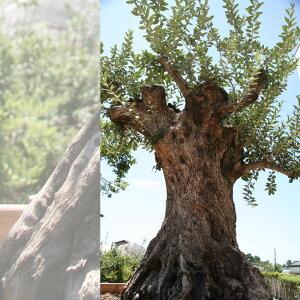 【4/28から5/16着不可】御神木 樹齢300年のオリーブの木 鉢植えになっています!全国へ自社便でお届け可能!実物の見学も可能です!庭木 常緑樹 オリーブ 苗木 植木 販売】