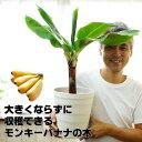 【送料無料】来年には収穫できるかも!コンパクトで育てやすい ドワーフモンキーバナナ 6号大苗(7号の鉢つきです) …