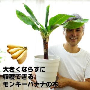 来年には収穫できるかも!コンパクトで育てやすい ドワーフモンキーバナナ 6号大苗(7号の鉢つきです) 通販 【ラッピング・メッセージカード不可】