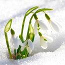 【2月咲き】球根スノードロップ10球セット秋植えで早春のまだ寒い時期に咲き始める水仙の仲間!年を重ねるごとに花数がどんどん増えます!【メール便限定送料無料】【初心者OK】