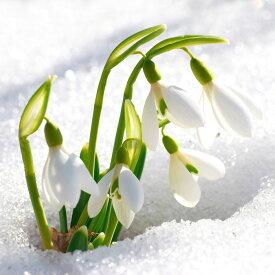 【2月咲き】球根 スノードロップ 10球セット 秋植えで早春のまだ寒い時期に咲き始める水仙の仲間!年を重ねるごとに花数がどんどん増えます!【メール便限定 送料無料】【初心者OK】