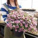 【7月22日が最終出荷】ジョルディーさんのカリブラコア アンティーク62番 8寸大株!玄関先のお花の入れ替え用に、限定数でご案内しております!
