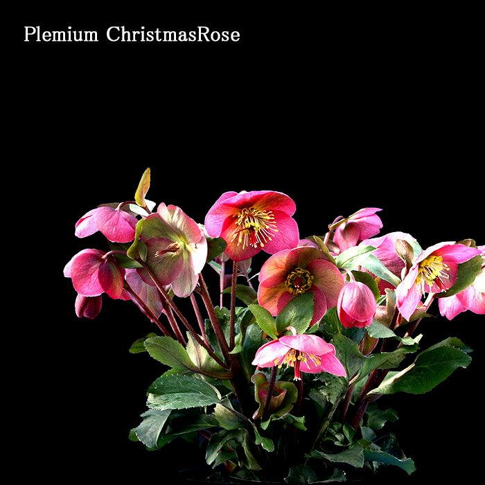 プレミアム クリスマスローズ アンナズレッド 4.5号鉢 クリスマスローズ界のプリンセス