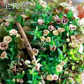 【6苗セット】全12色 八重咲きカリブラコア アンティークシリーズ 3.5寸 6苗セット【送料無料】【ラッピング・メッセージカード不可】