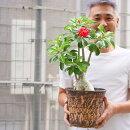 アデニウム八重咲きレッド花付き株6号素焼き鉢