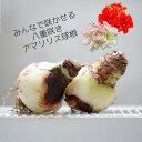 いい花咲かそうアマリリス!簡単豪華!八重咲き アマリリスの球根 直径8センチ前後 アフロディーテ レッドピーコック 初心者さんにおすすめ ガーデニング【価格は1球当り】