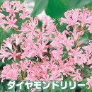 【秋咲き】球根4球セットピンクのダイヤモンドリリーブライダルで、よく使われる切り花の1つ【小型便送料】【初心者OK】【メール便不可】