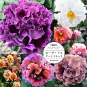 【数量超限定・お1人様2セットまで】八重咲きフリル パンジー ローヴ・ドゥ・アントワネット MIX6苗セット 【ラッピン…
