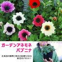 【送料無料】次世代ハイパフォーマンス!ガーデンアネモネ パブニナ 3.5寸ロングポット 北海道の極寒から東京の高温多湿猛暑にも耐え…