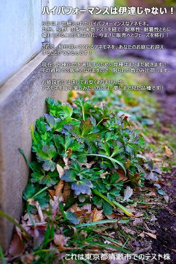 【送料無料】次世代ハイパフォーマンス!ガーデンアネモネパブニナ3.5寸ロングポット北海道の極寒から東京の高温多湿猛暑にも耐える新品種!しっかり株!根の張りが違う!