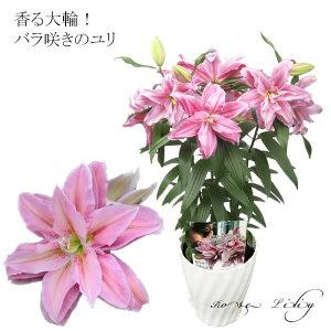 送料無料 まだ間に合う 母の日ギフト プレゼント 花 鉢植え 珍しい 癒し バラ咲き大輪ユリ「ローズリリー」の鉢植え 3本立ち  花 カサブランカ ゆり 百合