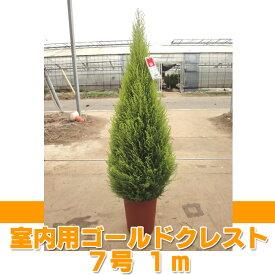 ゴールドクレスト ウィルマ(室内用) 7号 約1m 【農家直送・送料無料】【クリスマスツリー】【ラッピング・メッセージカード不可】