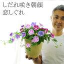 【送料無料】しだれ咲き朝顔 恋しぐれ 6号(18センチの鉢)2色以上の花色を寄せ植えしました!お昼過ぎまで咲く!秋まで咲く!斑入り葉…