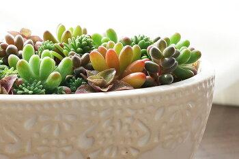 【送料無料】多肉ちゃんサプリメント(多肉植物)色とりどりの多肉植物がぎっしり詰まった宝石箱!置き場所を選ばない手のひらサイズ!
